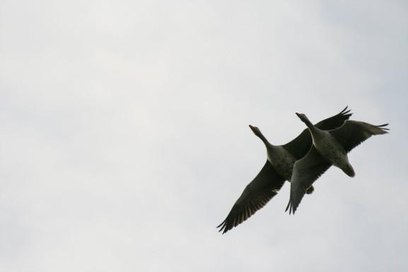 dreamstimefree_796245 geese